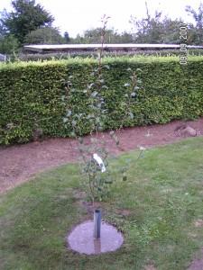 Clara Friis frugttræ