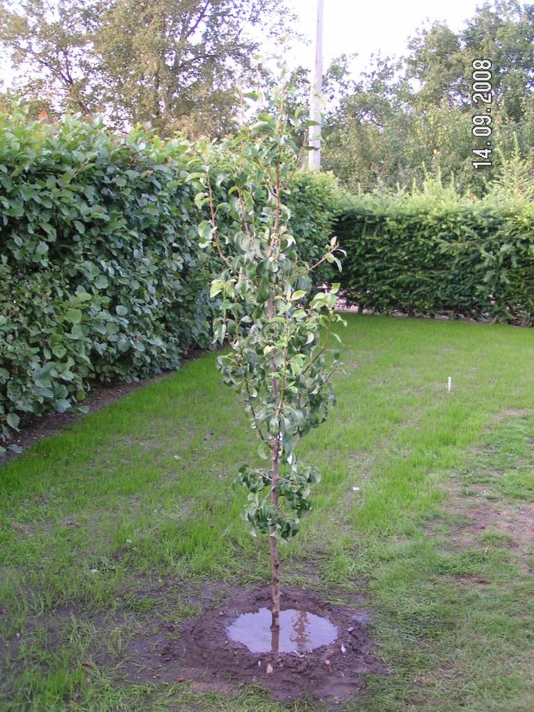Conference frugttræ