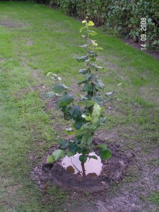 Cosford frugttræ