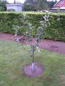 Discovery frugttræ