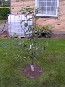 Guldborg frugttræ