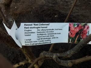 Rød Zellernød plante info